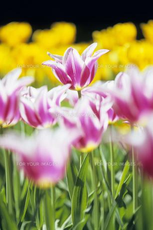チューリップの群生、Gregarious tulipの素材 [FYI00024847]
