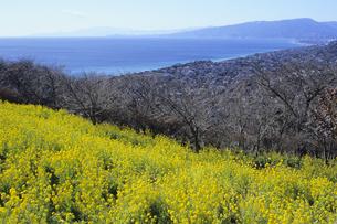 菜の花の丘と海、Hills and sea of rape blossomsの写真素材 [FYI00024850]