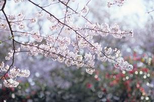 さくら、Cherry Blossomsの素材 [FYI00024852]