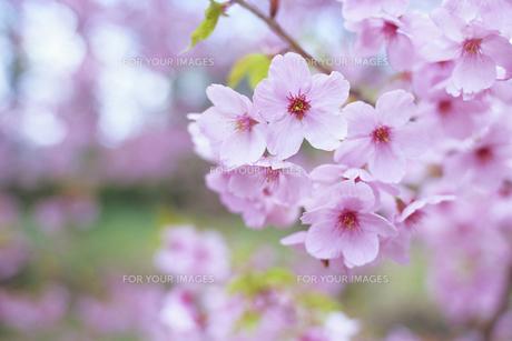 可憐なさくら、Lovely cherryの素材 [FYI00024855]