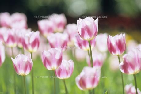 ピンクのチューリップ群生、 Pink tulip gregariousの素材 [FYI00024859]