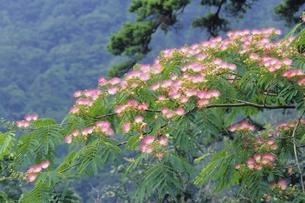 山中のネムノキの写真素材 [FYI00024875]