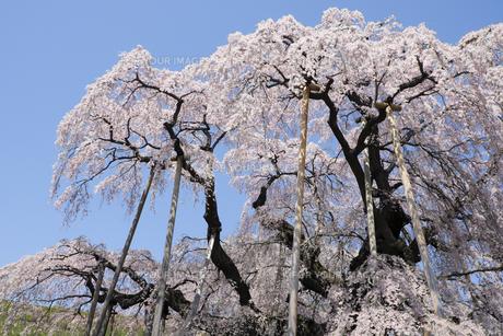 福島県三春滝桜と青空の写真素材 [FYI00024883]