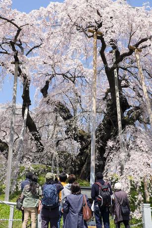 福島県三春滝桜と観光客の素材 [FYI00024885]