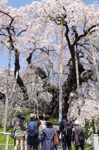 福島県三春滝桜と観光客の写真素材 [FYI00024885]