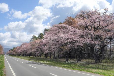 北海道静内二十間道路桜並木の素材 [FYI00024886]