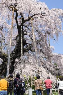福島県三春滝桜と観光客の写真素材 [FYI00024889]