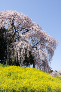 福島県合戦場のしだれ桜の写真素材 [FYI00024892]