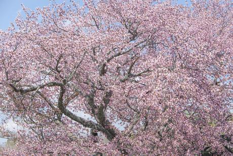 北海道浦河町優駿さくらロード(西舎桜並木)の桜の素材 [FYI00024893]