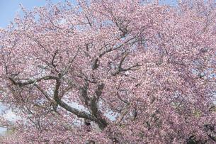 北海道浦河町優駿さくらロード(西舎桜並木)の桜の写真素材 [FYI00024893]