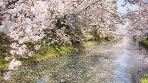 弘前公園の桜とお堀の写真素材 [FYI00024894]