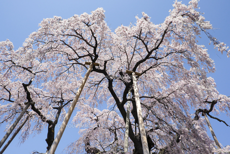 福島県三春滝桜と青空の素材 [FYI00024895]