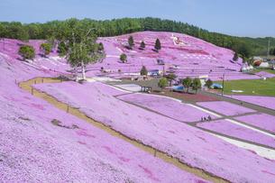 北海道ひがしもこと芝桜公園の芝桜の写真素材 [FYI00024901]