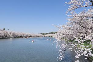 弘前公園の西濠と桜の写真素材 [FYI00024905]