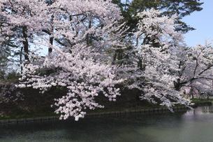弘前公園の桜とお堀の写真素材 [FYI00024906]