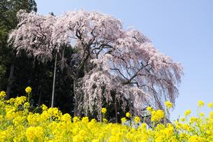 福島県合戦場のしだれ桜の写真素材 [FYI00024908]