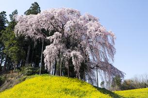 福島県合戦場のしだれ桜の素材 [FYI00024909]