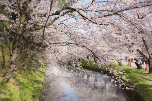 弘前公園の桜とお堀の写真素材 [FYI00024930]