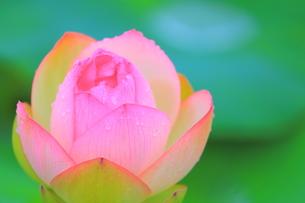 蓮の花の素材 [FYI00024973]