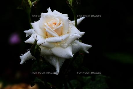 雨に濡れるバラの花の素材 [FYI00024975]