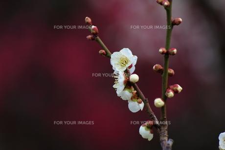 梅の花の素材 [FYI00024976]