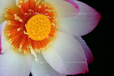 蓮の花の素材 [FYI00024978]