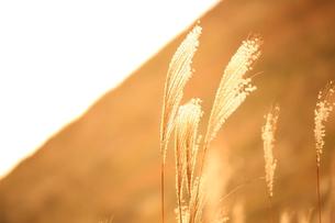夕陽に照らされるすすきの素材 [FYI00024981]