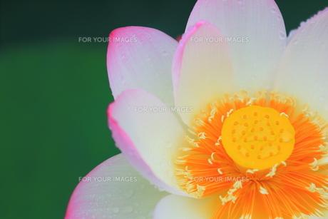 蓮の花の素材 [FYI00024982]