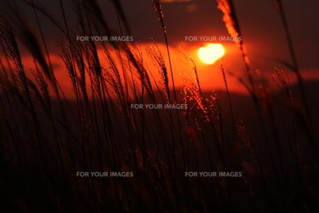 夕陽に照らされるすすきの素材 [FYI00024983]