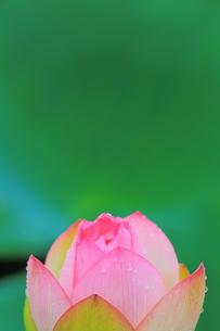 蓮の花の素材 [FYI00024990]