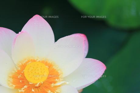 蓮の花の素材 [FYI00024991]