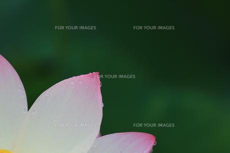 蓮の花の素材 [FYI00024992]