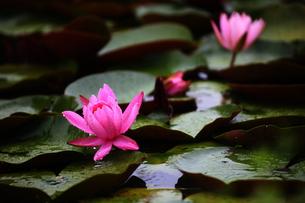 水辺に咲く睡蓮の素材 [FYI00024998]