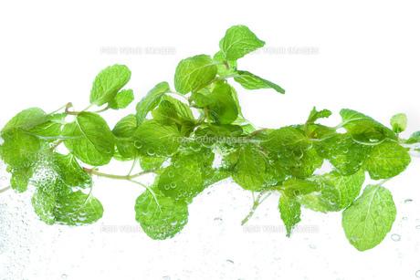 水に浮かぶミントの葉の写真素材 [FYI00025116]