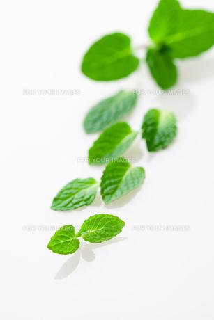 スペアミントの葉の写真素材 [FYI00025192]