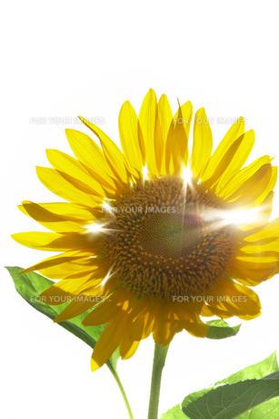 逆光の向日葵の素材 [FYI00025230]