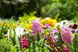 ヒヤシンスが咲く花壇の素材 [FYI00025234]