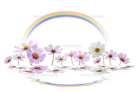 コスモスと虹の素材 [FYI00025401]