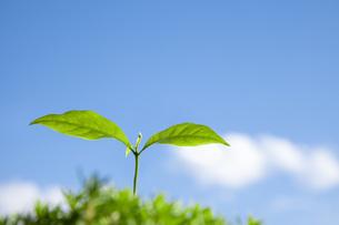 コーヒー苗の新芽の素材 [FYI00025444]