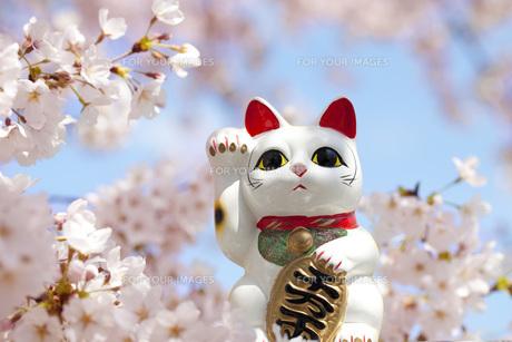お花見をする招き猫の写真素材 [FYI00025469]