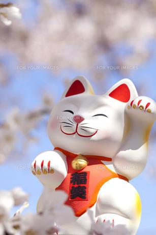 お花見をする招き猫の写真素材 [FYI00025470]