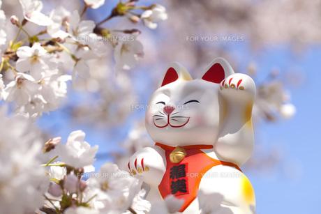 お花見をする招き猫の写真素材 [FYI00025471]