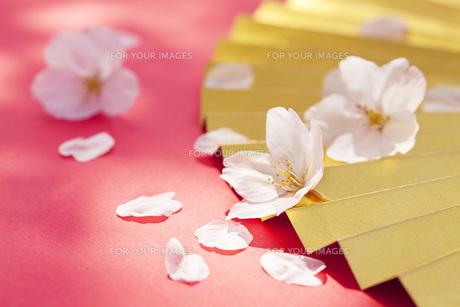 金扇子に舞う桜の花びらの素材 [FYI00025505]