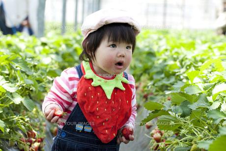苺狩りをする幼児の素材 [FYI00025517]