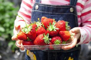 イチゴ狩りの収穫の写真素材 [FYI00025518]