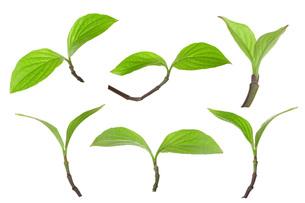 花水木の新芽双葉の素材 [FYI00025542]
