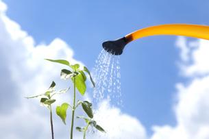 向日葵の苗にやる水の写真素材 [FYI00025546]
