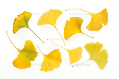銀杏の葉の素材 [FYI00025644]