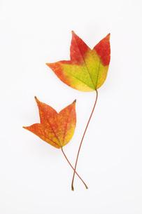 唐楓の紅葉の葉の素材 [FYI00025658]
