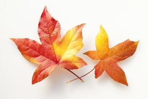唐楓の紅葉の葉の素材 [FYI00025663]